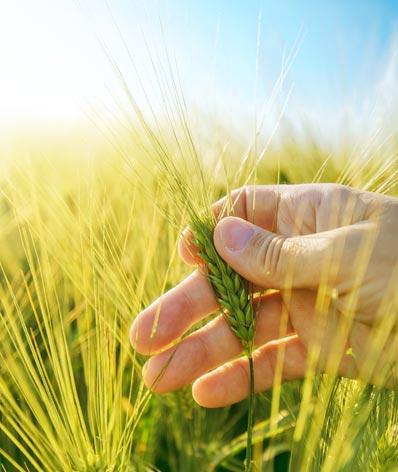 barley industry
